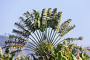 Traveler's tree, also called traveler's palm (Ravenala madagascariensis), Photographed in Antsirabe, Madagascar