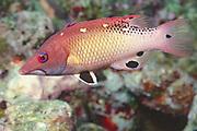 Diana's Hogfish.(Bodianus diana).Papua New Guinea