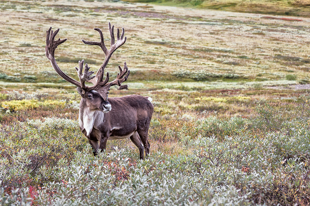 Alaska.  Bull Caribou (Rangifer tarandus) with a large set of antlers still in velvet standing in low shrubbery near Highway Pass in Denali National Park in August.