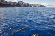 Dolphins swimming around Saint Helena Island.