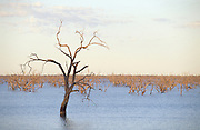 Tree in a flooded landscape near Menindee, Broken Hill, New South Wales, Australia