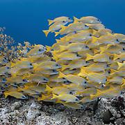 Large school of bluestripe snapper (Lutjanus kasmira) swimming along the top of a shallow reef in Palau