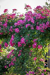 Rosa 'American Pillar' on a pergola