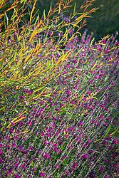 Salvia × jamensis 'Nachtvlinder' - Woody sage - with Salix purpurea 'Nancy Saunders' AGM - Purple Osier Willow
