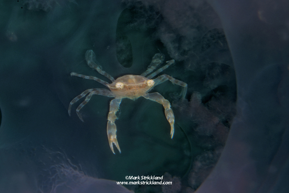 This tiny Swimmer Crab, Portunnas sp., lives among the stinging tentacles of a large jellyfish, where it is relatively safe from predators while drifting in open water. Mergui Archipelago, Myanmar/Burma, Andaman Sea