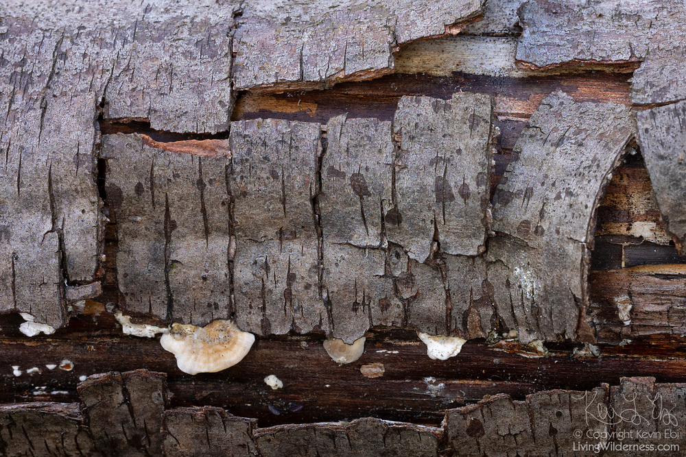 Small shelf fungi begin to grow on part of a decaying alder tree where the bark has peeled away.