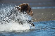 Brown Bear  at Silver Salmon Creek Lodge in Lake Clark National Park