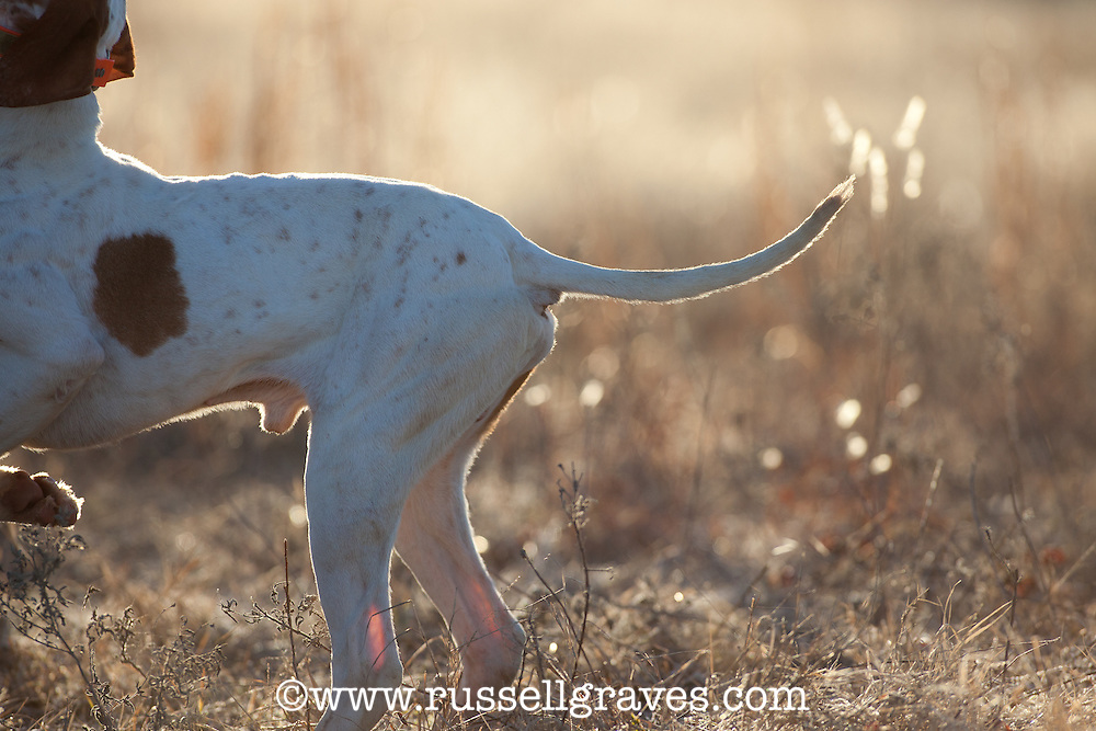DETAIL OF AN ENGLISH POINTER TAIL