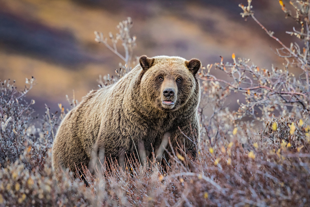 Alaska.  Large adult Brown Bear (Ursus arctos) foraging for Soapberries (Shepherdia canadensis) along a small creek in Denali National Park near Highway Pass in late September.  Bears put on as much fat as they can before hibernation to sustain themselves through the winter.