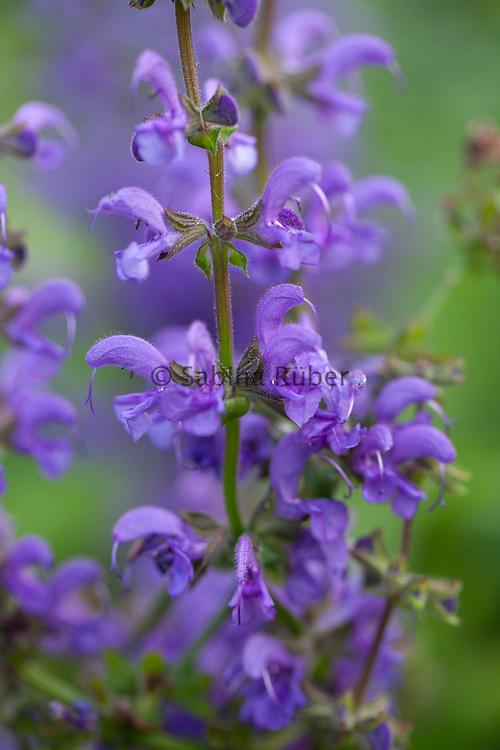 Salvia pratensis 'Twilight Serenade' (Ballet Series)