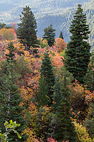 Fall colors among the pine trees in Utah's American Fork Canyon on a crisp Fall morning in the Wasatch Mountains.
