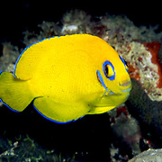 Lemonpeel Angelfish inhabit reefs. Picture taken Fiji