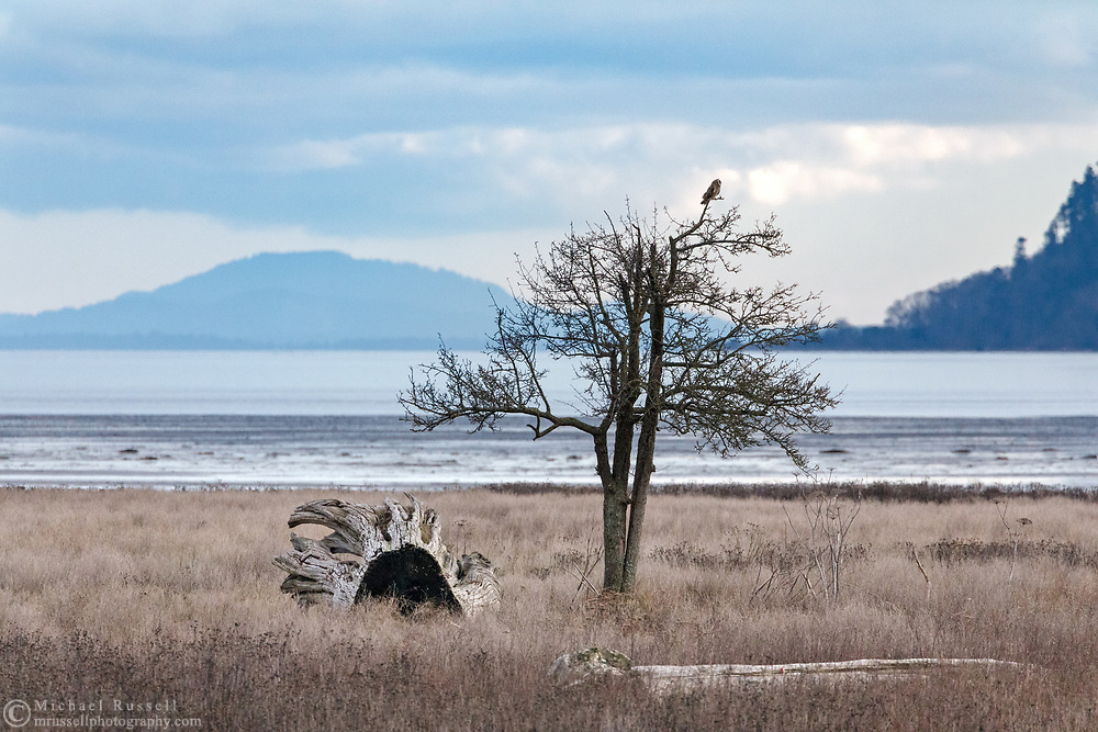 Short-eared Owl (Asio flammeus) perched in a tree along the shore at Boundary Bay Regional Park.  Photographed at Boundary Bay in Delta, British Columbia, Canada. Lummi Island (Washington State) is in the background.