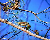 Palm Warbler in a tree outside Clyde Butcher's Galley. Image taken with a Fuji X-T2 camera and 100-400 mm OIS telephoto zoom lens (ISO 200, 400 mm, f/5.6, 1/640 sec).