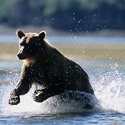 Alaskan Brown Bear, (Ursus middendorffi) Adult running through water. Alaskan Peninsula.