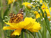 Vanessa Virginiensis a.k.a. American Lady butterfly in the Dene Native Meadow in Central Park today, June 2. 2021.