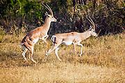 Grant's gazelle (Nanger granti). Photographed in Tanzania