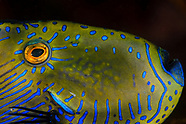 Acanthaluteres brownii (Spinytail Leatherjacket)