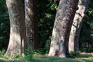 An intimate view of the wonderful age-old plane trees of the park of the Racconigi castle in Piedmont, Italy. Taken at the beginning of May when the underbrush was in bloom.