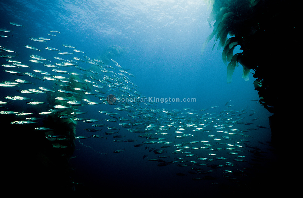 Underwater shot of a school of northern anchovies (engraulis mordax), swimming through giant kelp (macrocystis pyrifera) in the Channel Islands National Park, California.