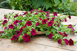 Surfinia 'Burgundy' - petunia growing in shallow terracotta dish as table centre