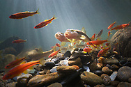 River Chub<br /> <br /> Isaac Szabo/Engbretson Underwater Photography