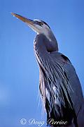 great blue heron, Ardea herodias, Miami, Florida, USA