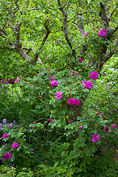 Rosa 'Roseraie de l'Hay' AGM growing up apple tree at Glebe Cottage