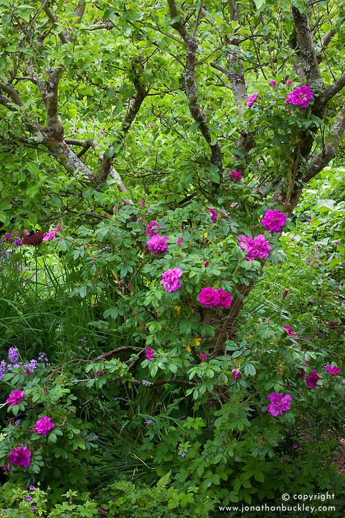 Rosa 'Roseraie de l'Hay' AGM growing up apple tree at Glebe Cottage