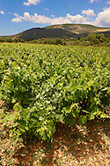 Unique Robola Grape Vineyards of Kefalonia, Ionian Islands, Greece. .<br /> <br /> Visit our GREEK HISTORIC PLACES PHOTO COLLECTIONS for more photos to download or buy as wall art prints https://funkystock.photoshelter.com/gallery-collection/Pictures-Images-of-Greece-Photos-of-Greek-Historic-Landmark-Sites/C0000w6e8OkknEb8