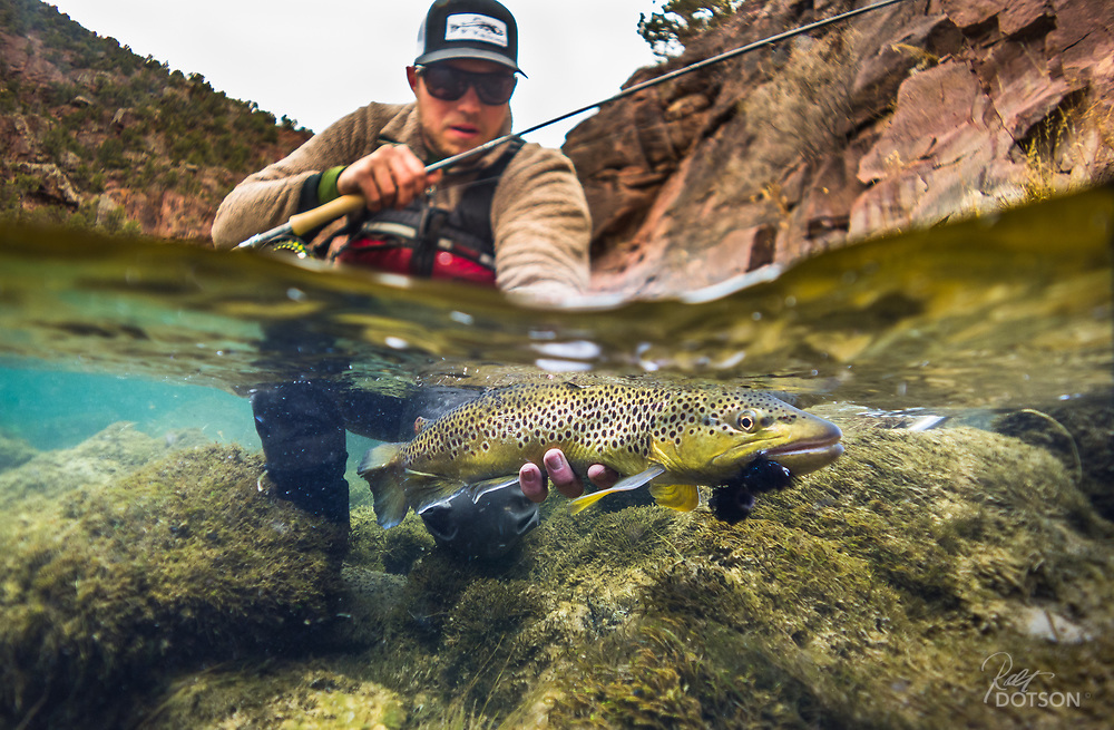 Early season brown couldn't pass up a tantalizing black streamer on Utah's Green River.