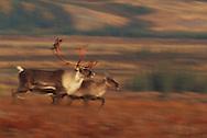 Reindeer, caribou, Rangifer tarandus, Kubuk Valley National Park, Alaska, USA
