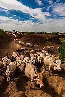 Cattle belonging to the Nyangatom tribe being herded back from watering at the Omo River to their village, Omo Valley, Ethiopia.