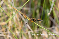 06638-00107. Elfin Skimmer (Nannothemis bella) female Bluff Spring Fen Cook Co.  IL