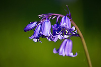 Bluebells, Spring light and colour