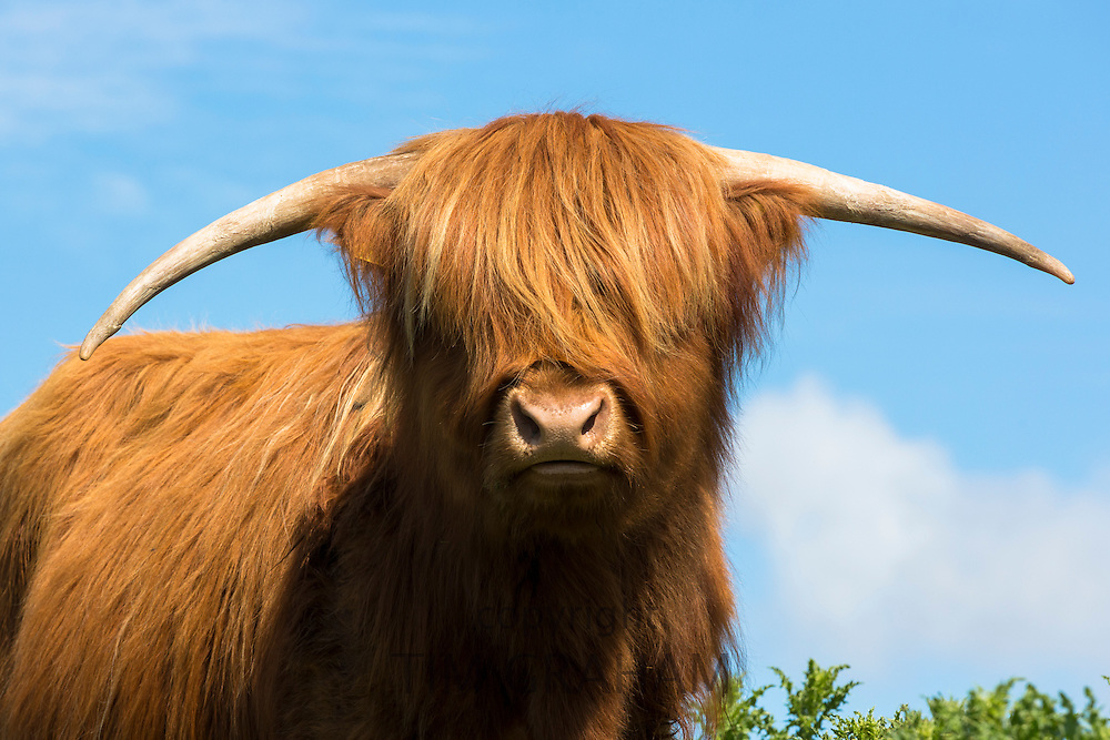 Cow, Bos primigenius, of Highland Cattle pure pedigree in the Highlands of Scotland