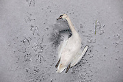 The carcass of a swan lies in the ice of the frozen Landwehr Canal in Berlin, Germany, February 10, 2021. It appears that the  swans legs were cought in the Ice, as the water of the canal froze after several days of extreme weather. Northern europe is hit by sub zero temperatures caused by a polar vortex. The carcass of a swan lies in the ice of the frozen Landwehr Canal in Berlin, Germany, February 10, 2021. It appears that the  swans legs were caught in the Ice, as the water of the canal froze after several days of extreme weather. Northern Europe is hit by sub zero temperatures caused by a polar vortex.