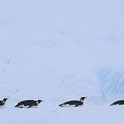 Emperor Penguin (Aptenodytes forsteri) adults sliding on their bellies on the Riiser Larsen Ice Shelf in Antarctica.