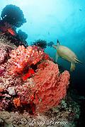 green sea turtle, Chelonia mydas, swims along edge of coral reef, Sipadan Island, off Borneo, Sabah, Malaysia ( Celebes Sea / Western Pacific Ocean )