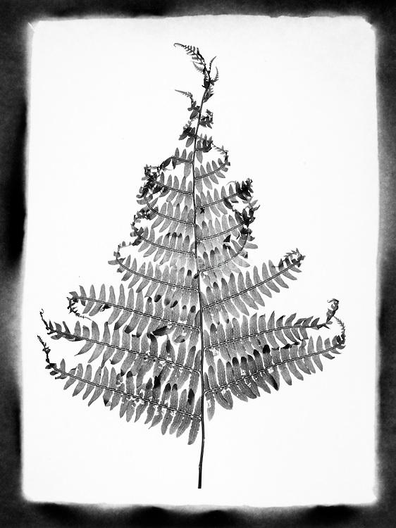 Dying fern leaf against a white background.
