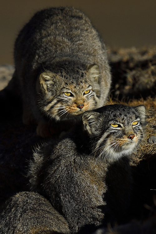 Two Pallas's cat (Otocolobus manul), also called the manul, in mountain scenery at the Tibetan Plateau 5000 m asl, Qinghai, China