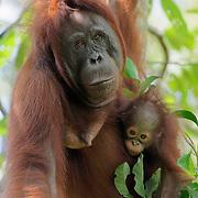 Orangutan (Pongo pygmaeus) mother with baby. Tanjung Puting National Park, Borneo