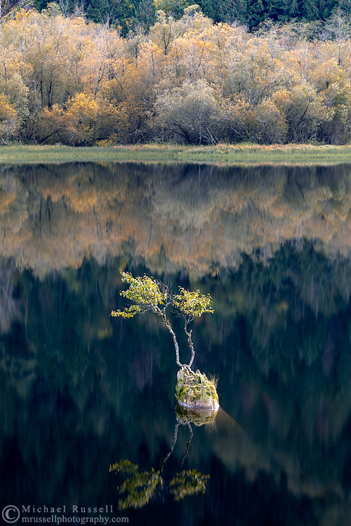A small Black Cottonwood (Populus balsamifera ssp. trichocarpa) tree growing out of a deadhead at Silver Lake Provincial Park in Hope, British Columbia, Canada