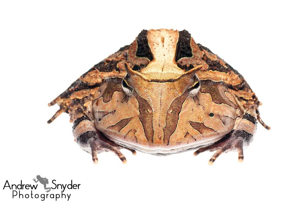 Horned frog, Ceratophrys cornuta, Iwokrama, Guyana, July 2013