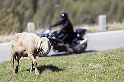THEMENBILD - die Grossglockner Hochalpenstrasse. Die hochalpine Gebirgsstrasse verbindet die beiden oesterreichischen Bundeslaender Salzburg und Kaernten mit einer Laenge von 48 Kilometer. Sie ist als Erlebnisstrasse vorrangig von touristischer Bedeutung und das Befahren ist fuer Kraftfahrzeuge mautpflichtig, im Bild ein Schaf im Hochgebirge dahinter ein Motorradfahrer, aufgenommen am 24.05.2014 // ILLUSTRATION - the Grossglockner High Alpine Road. The high alpine mountain road connects the two Austrian federal states of Salzburg and Carinthia with a length of 48 kilometers. It is as a matter of priority road experience of tourist importance and for driving motor vehicles is a toll road. Picture taken on 2014/05/24. EXPA Pictures © 2014, PhotoCredit: EXPA/ JFK