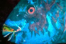 midnight parrotfish, Scarus coelestinus, Looe Key, Florida Keys National Marine Sanctuary, Florida, Atlantic Ocean
