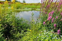 Grote kattenstaart, Lythrum salicaria