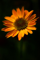 Yellow echinacea at the peak of perfection.