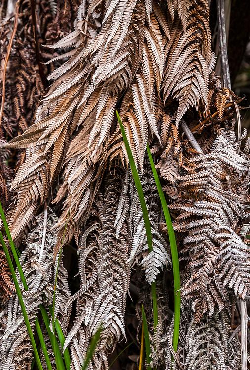 Fern detail in Volcanoes National Park along the Kilauea Iki Trail, Hawaii, The Big Island, USA.