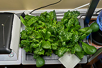 AeroGarden Farm 02 Right Tray at 38 days. R01-R09 Romain;  Image taken with a Leica TL-2 camera and 35 mm f/1.4 lens (ISO 640, 35 mm, f/11, 1/40 sec).
